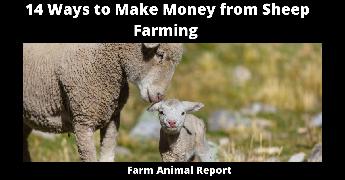 14 Ways to Make Money from Sheep Farming