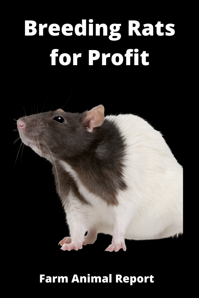 Breeding Rats for Profit - 2 = $15,000 One Year 2