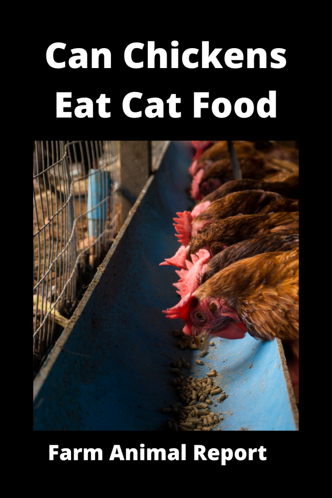 Can Chickens Eat Cat Food? Is it Safe? 2