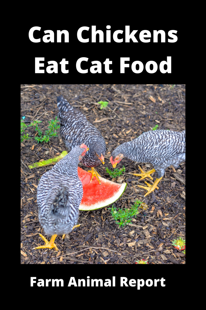 Can Chickens Eat Cat Food? Is it Safe? 3