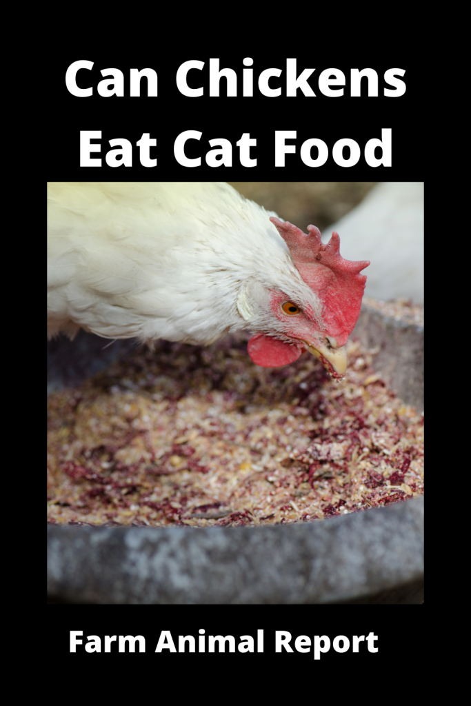 Can Chickens Eat Cat Food? Is it Safe? 4