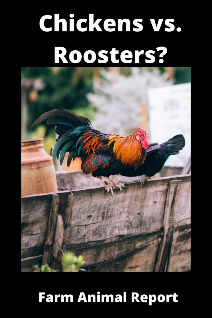 Chickens vs Roosters What's the Difference 2