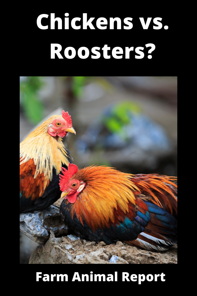 Chickens vs Roosters What's the Difference 3