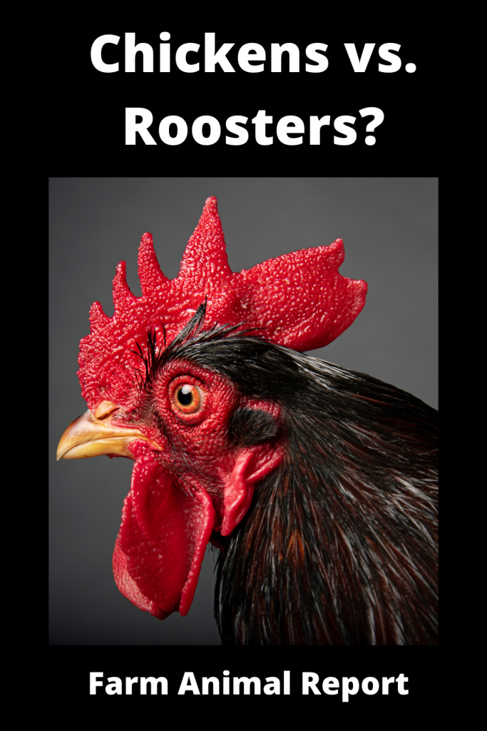 Chickens vs Roosters What's the Difference 4