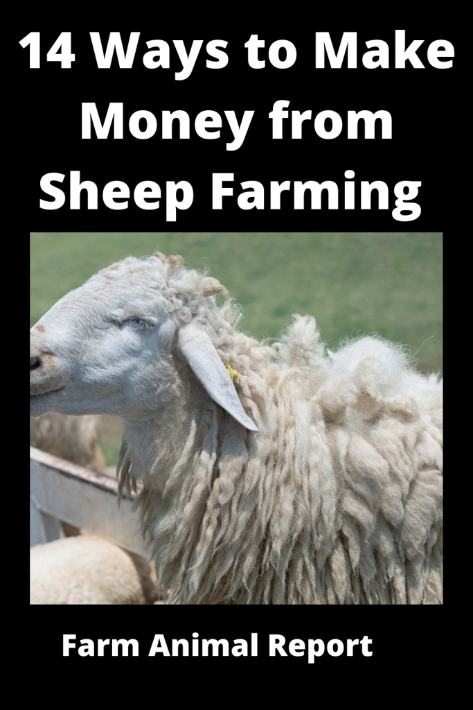 14 Ways to Make Money from Sheep Farming 2