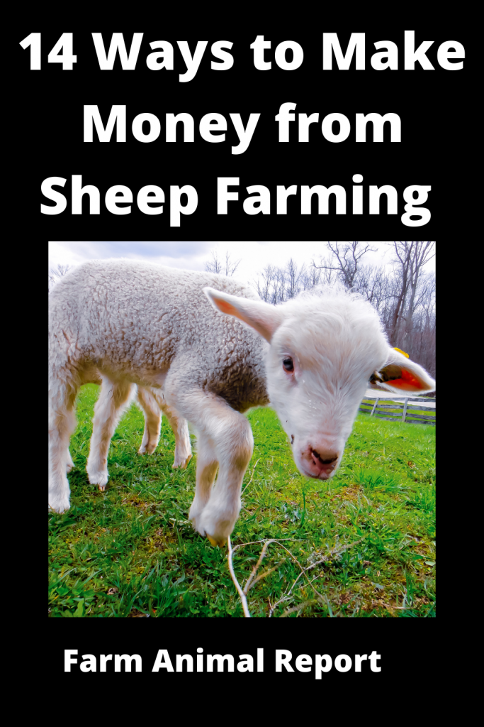 14 Ways to Make Money from Sheep Farming 3