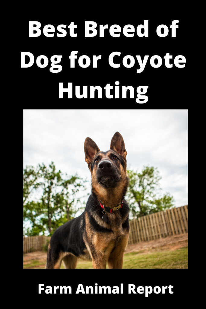 Coyote Hunting Dogs - What is Best Breed 2