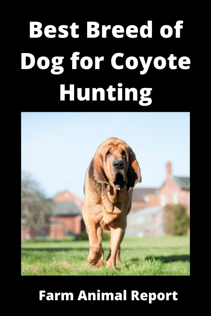 Coyote Hunting Dogs - What is Best Breed 3