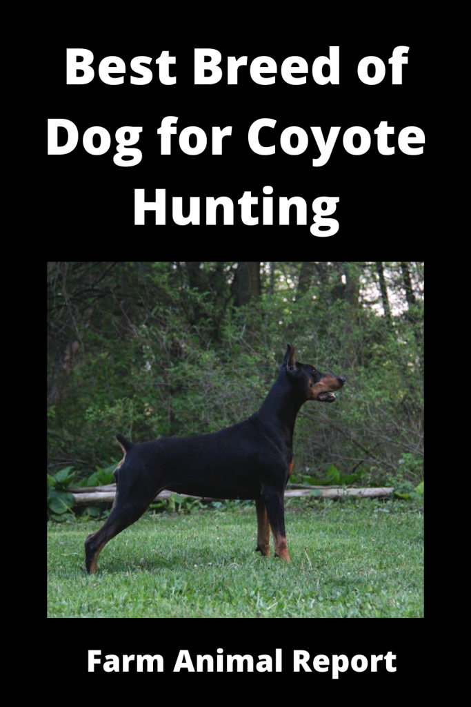 Coyote Hunting Dogs - What is Best Breed 4