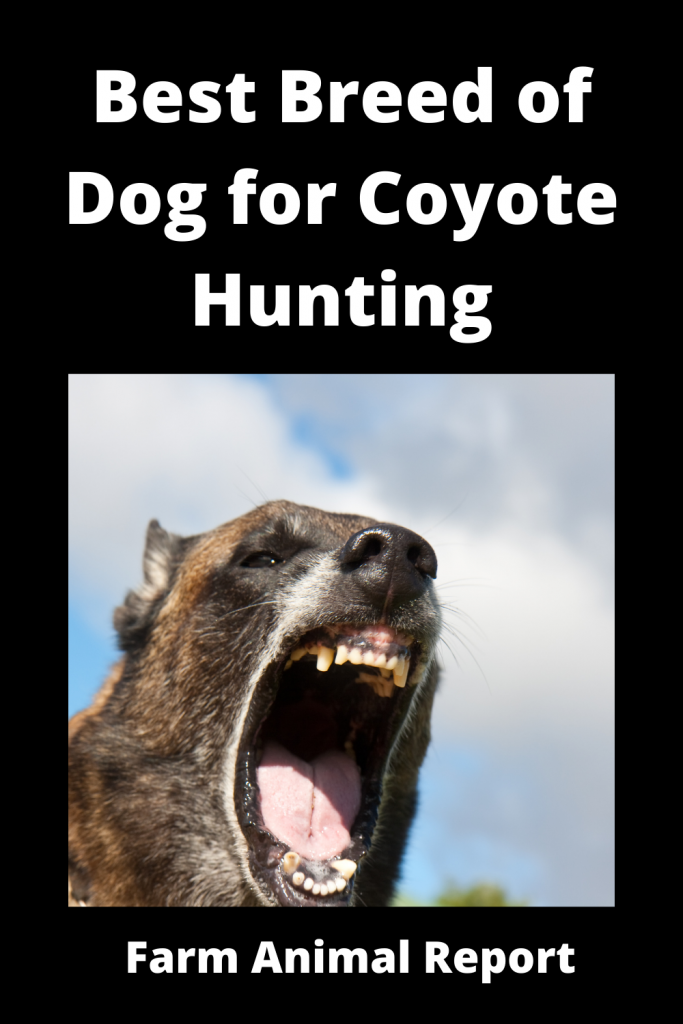 Coyote Hunting Dogs - What is Best Breed 1