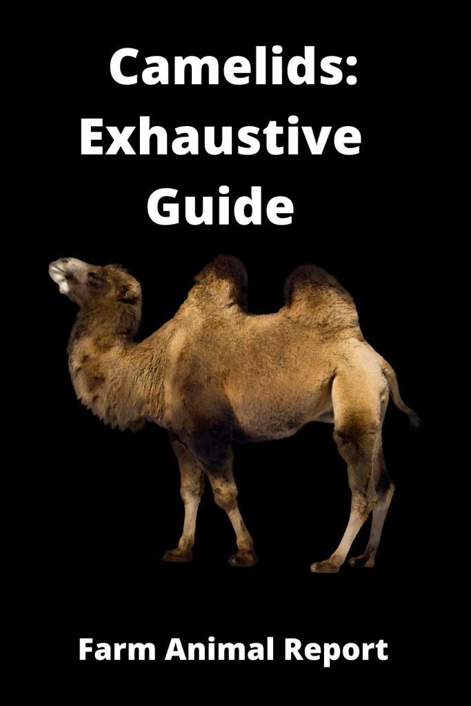 Camelids: Exhaustive Guide 2