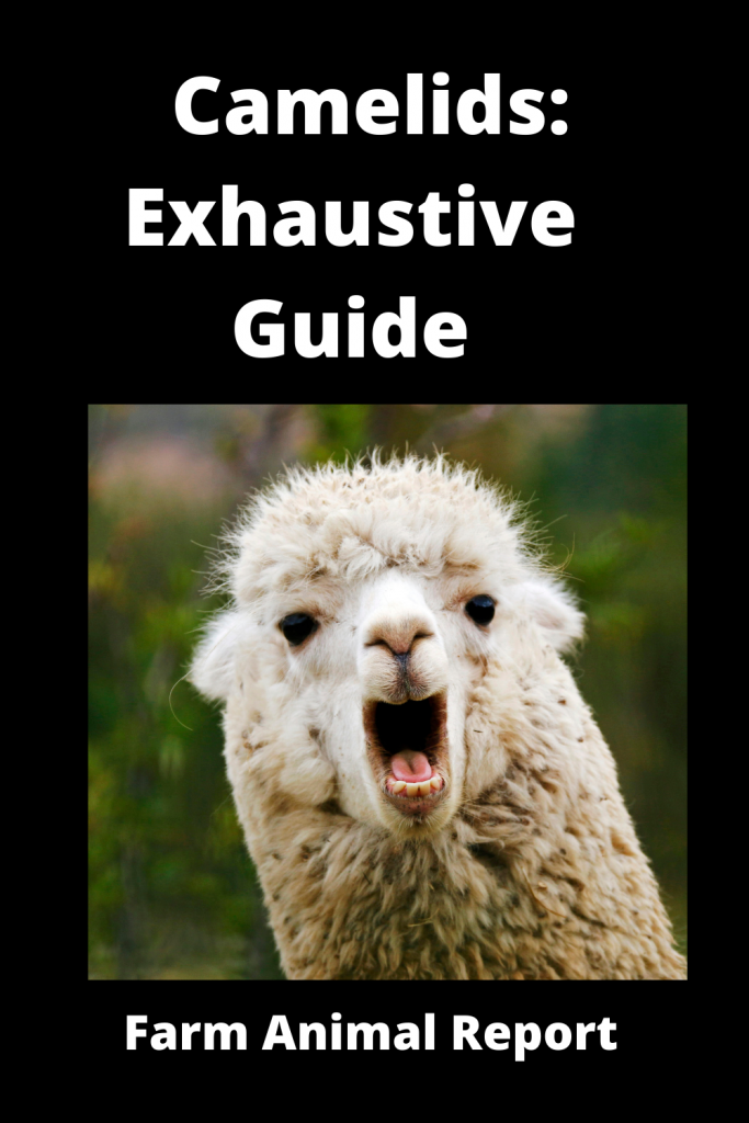 Camelids: Exhaustive Guide 3