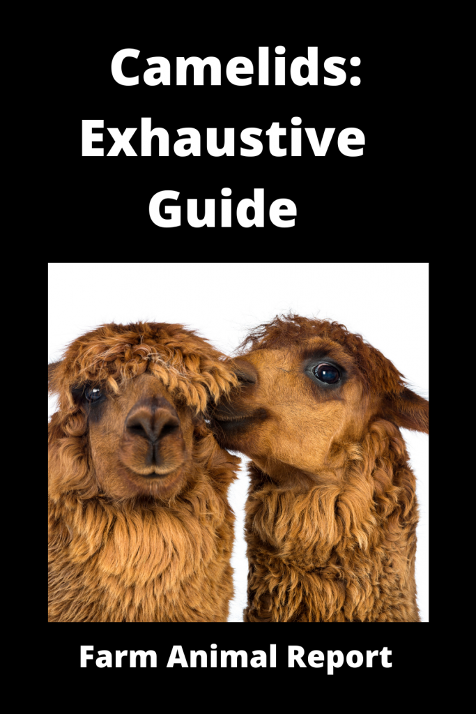 Camelids: Exhaustive Guide 4