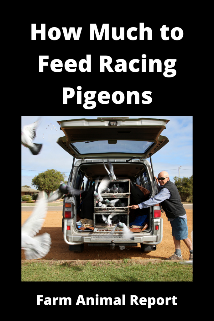 How Much to Feed Racing Pigeons 2