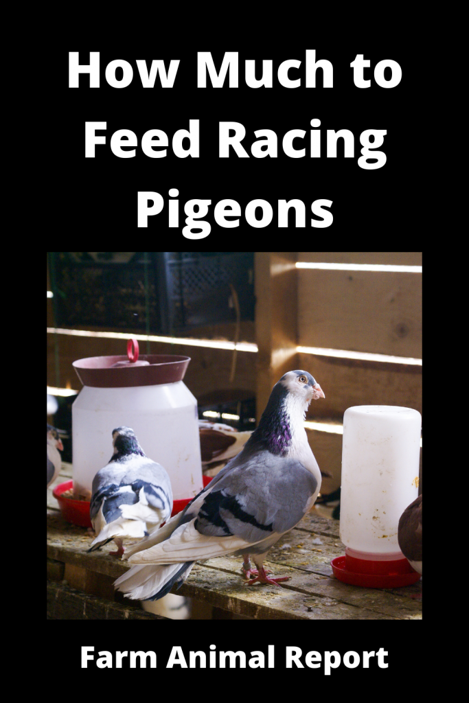 How Much to Feed Racing Pigeons 1
