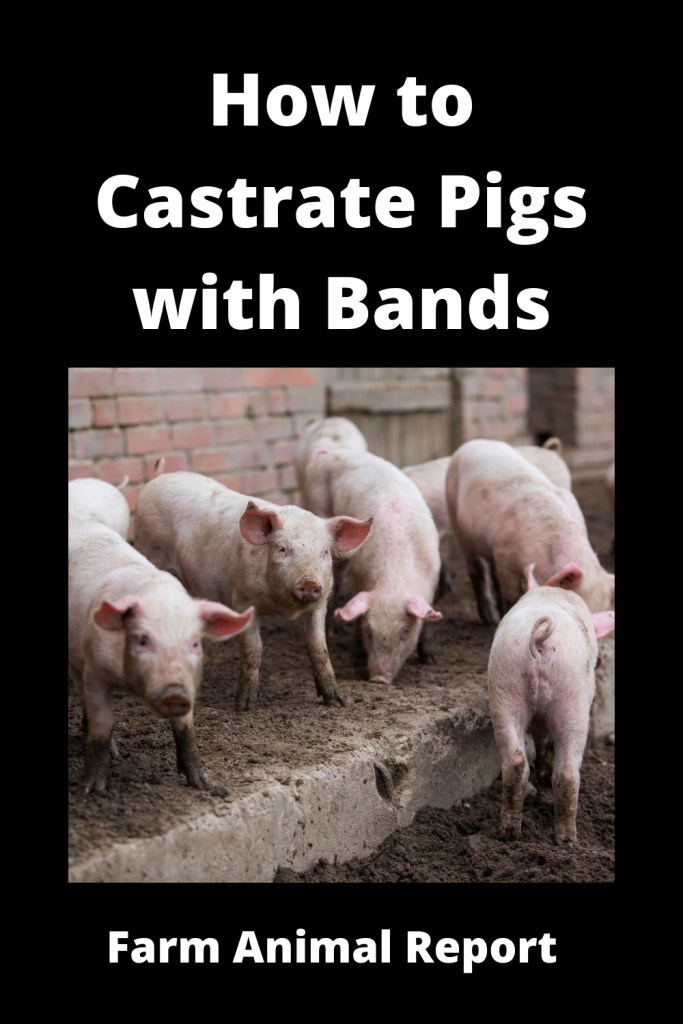 How to Castrate Pigs with Bands (With 5 Videos) 2
