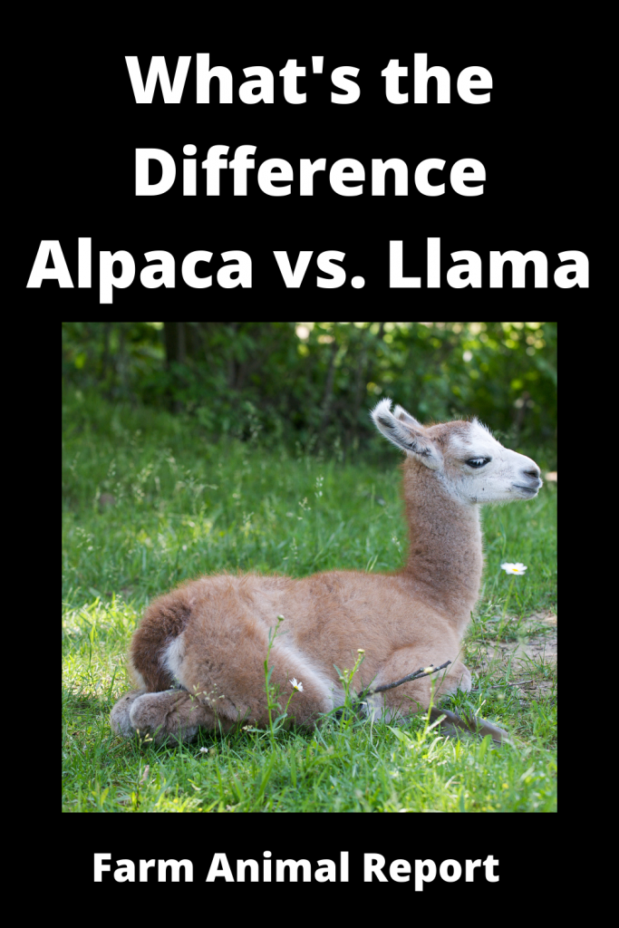 What's the Difference Alpaca vs. Llama 2