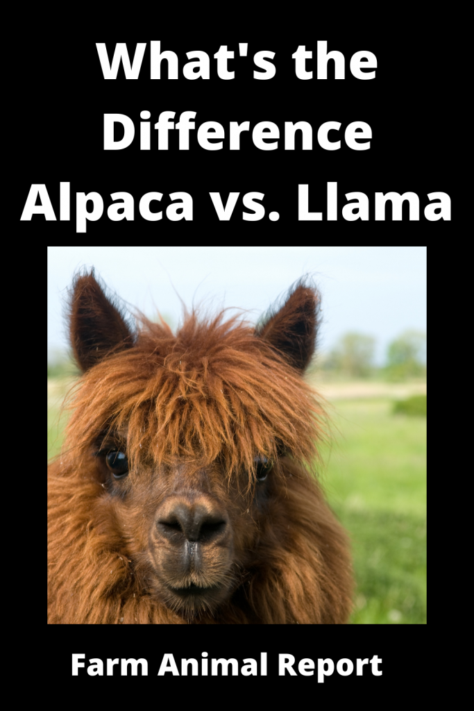 What's the Difference Alpaca vs. Llama 3