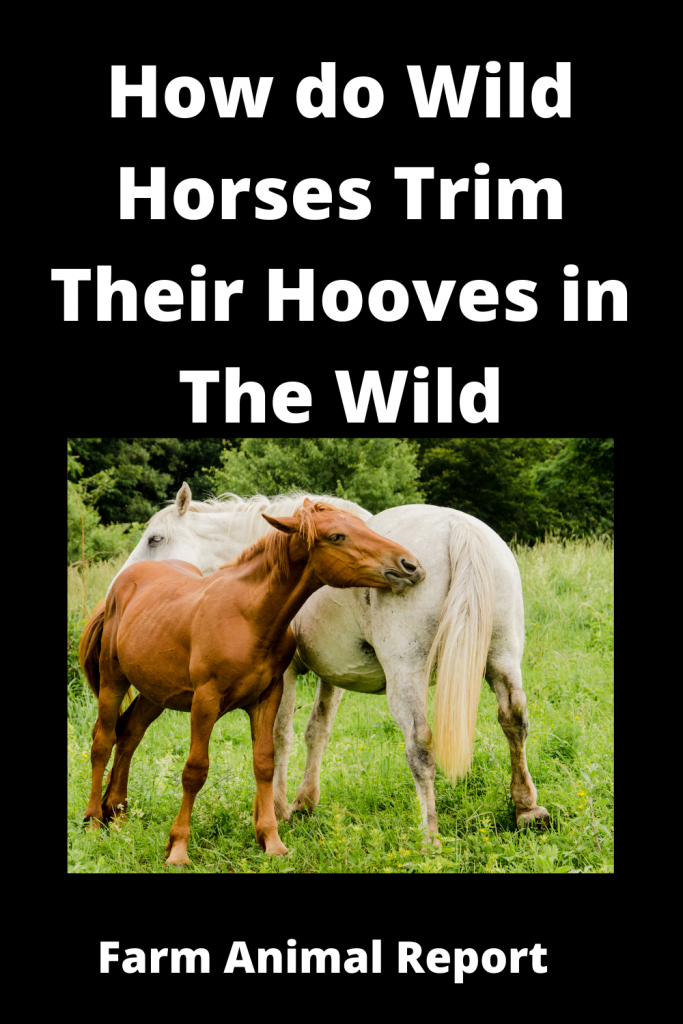 How do Horses Clean / Trim their Hooves in the Wild 1