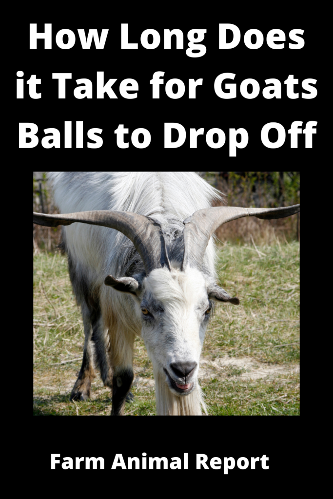 How Long Does it Take for Goats Balls to Drop Off / Videos 2