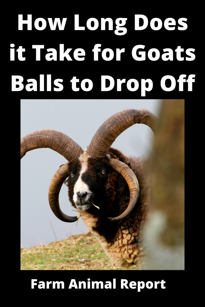 How Long Does it Take for Goats Balls to Drop Off / Videos 3