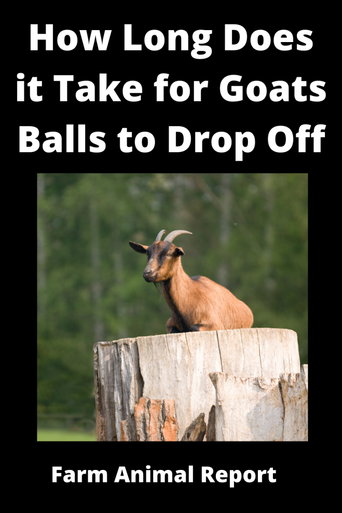 How Long Does it Take for Goats Balls to Drop Off / Videos 1
