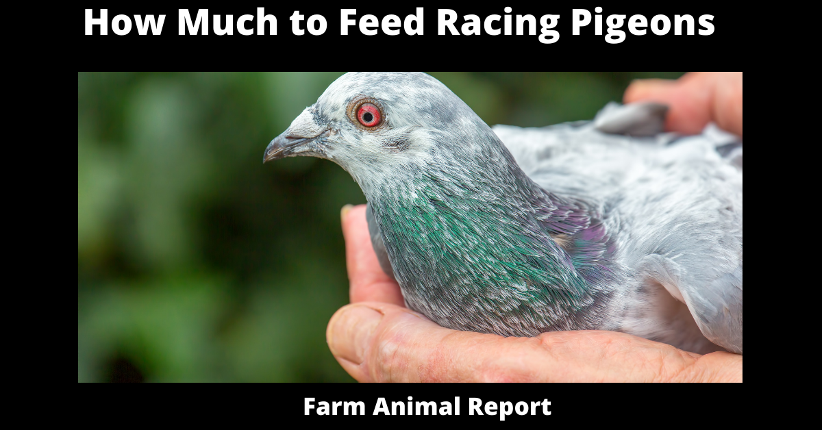 How Much to Feed Racing Pigeons