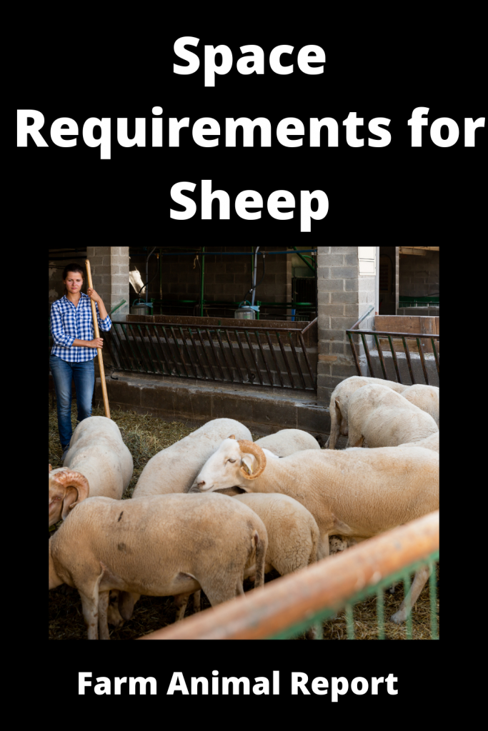 Complete Guide to Space Requirements for Sheep 4