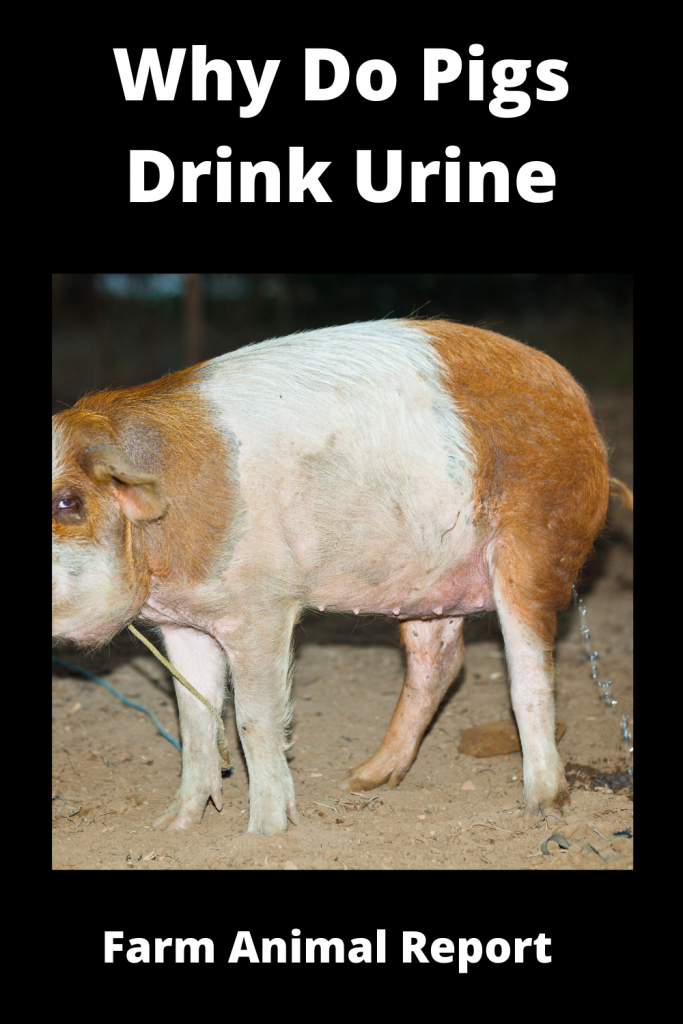 Why Do Pigs Drink Urine 2