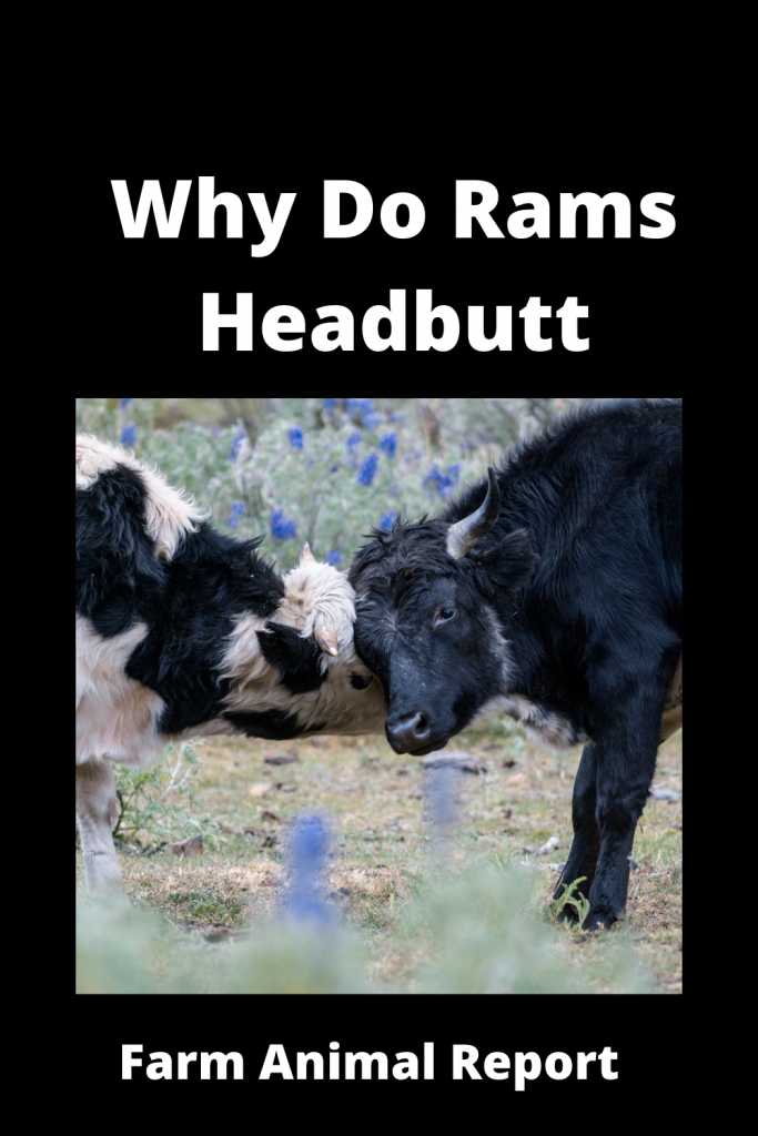 Why Do Sheep Butt Heads / Never Turn Your Head 2