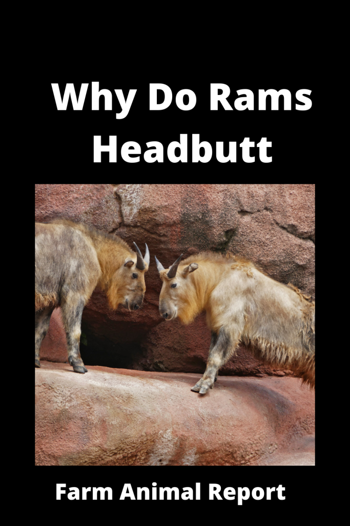 Why Do Sheep Butt Heads / Never Turn Your Head 3
