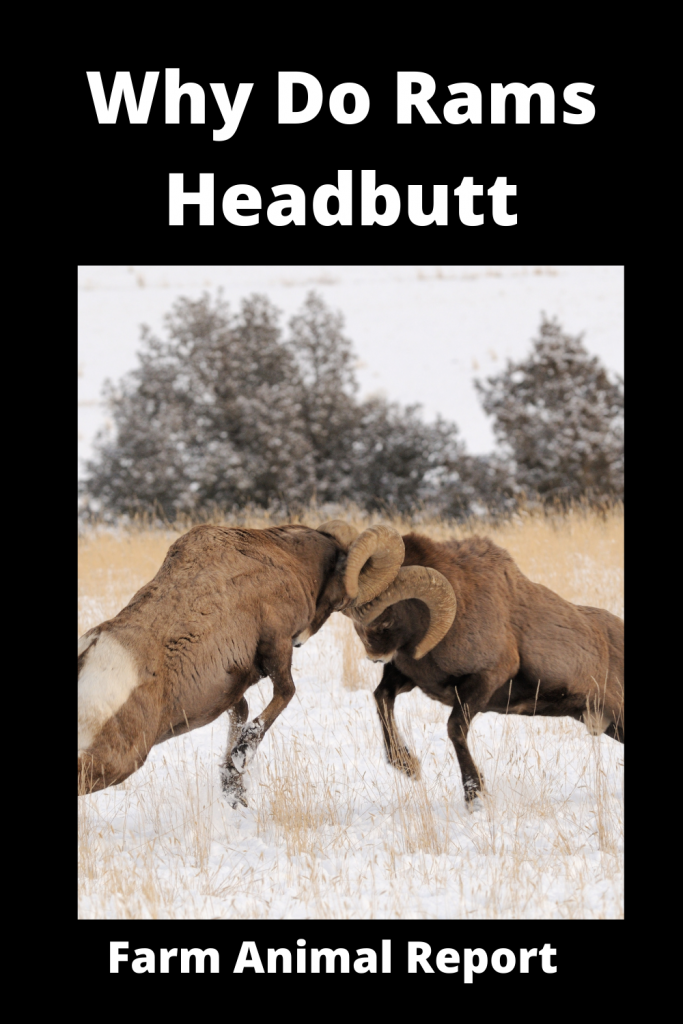 Why Do Sheep Butt Heads / Never Turn Your Head 4