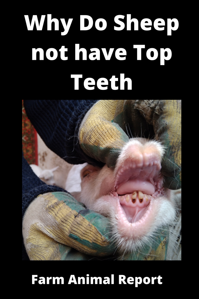 Why Do Sheep not have Top Teeth? 2