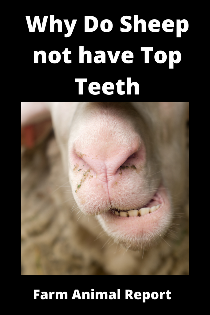 Why Do Sheep not have Top Teeth? 3