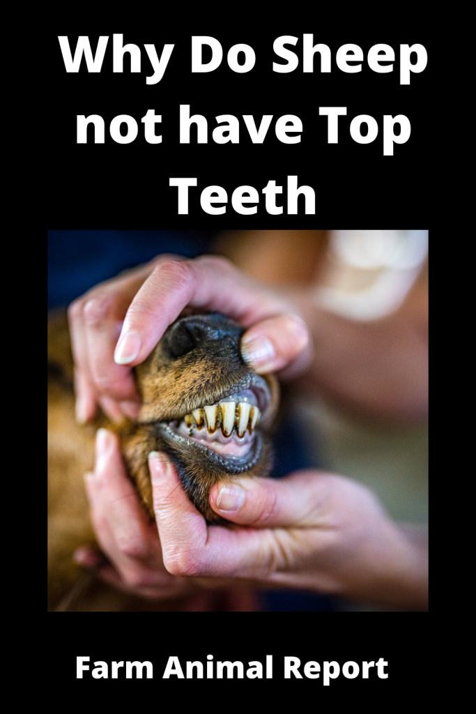 Why Do Sheep not have Top Teeth? 1