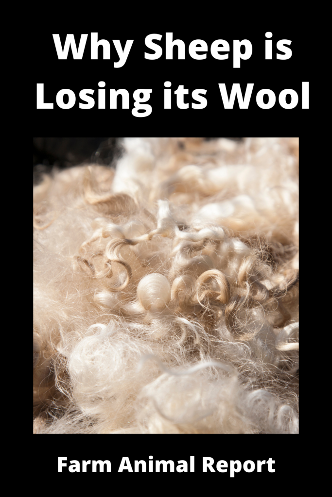 Why Sheep is Losing its Wool / 11 First Steps 2
