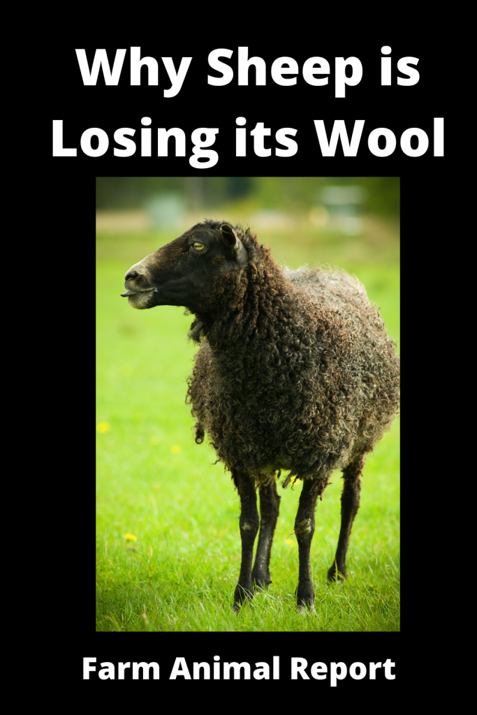 Why Sheep is Losing its Wool / 11 First Steps 3