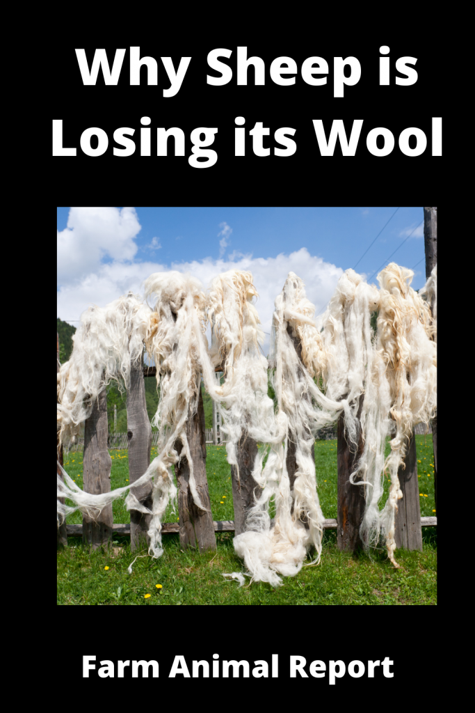 Why Sheep is Losing its Wool / 11 First Steps 4