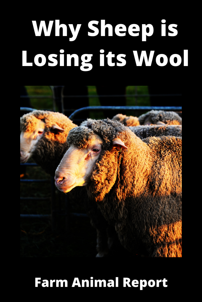 Why Sheep is Losing its Wool / 11 First Steps 5