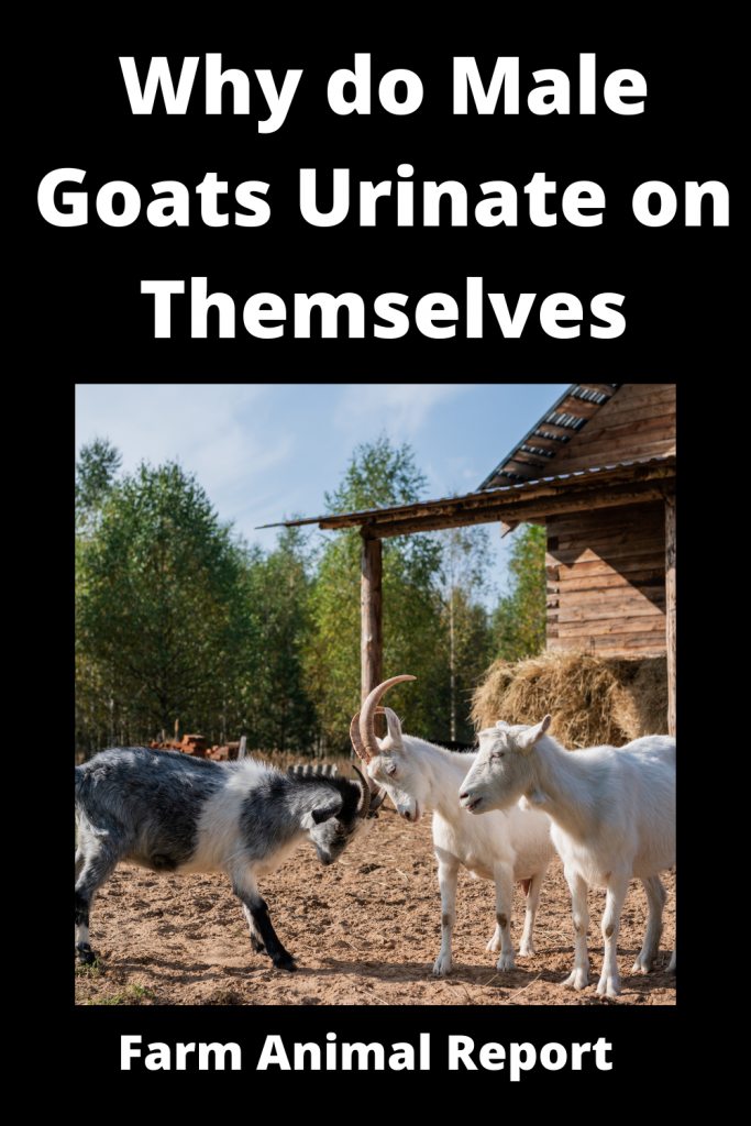 Why do Male Goats Urinate on Themselves / Romance 2