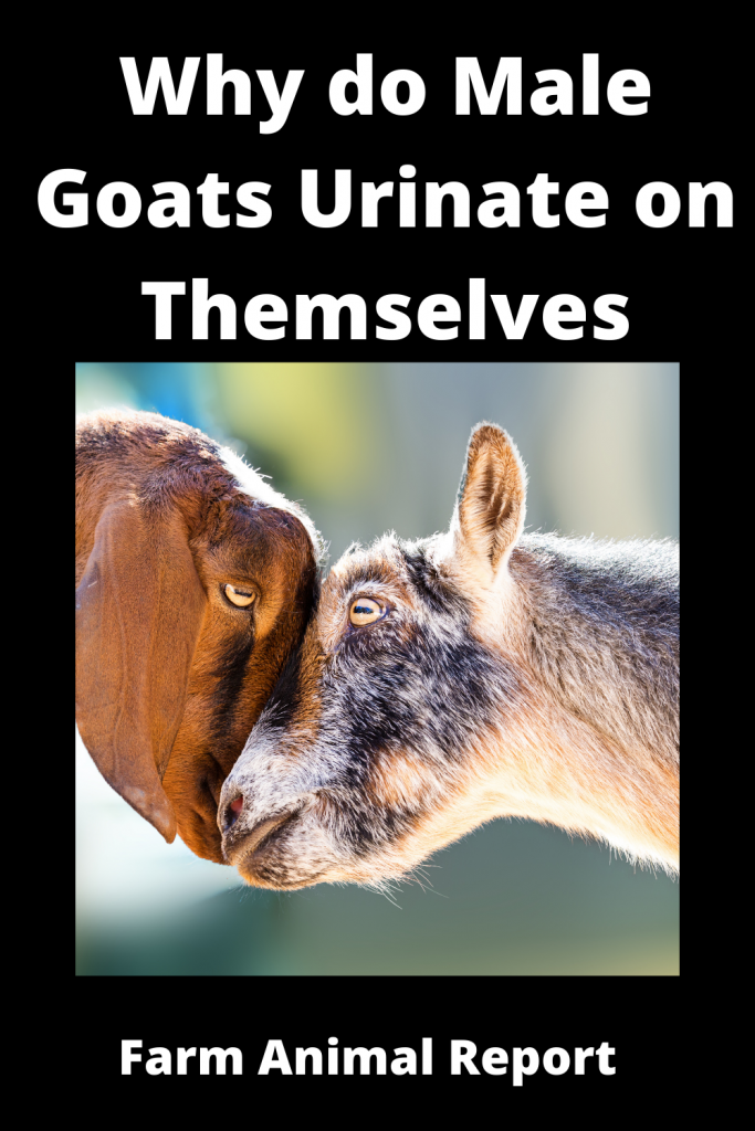 Why do Male Goats Urinate on Themselves / Romance 3