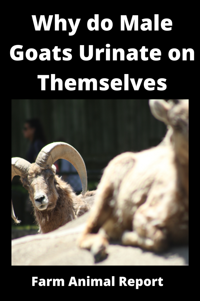 Why do Male Goats Urinate on Themselves / Romance 4