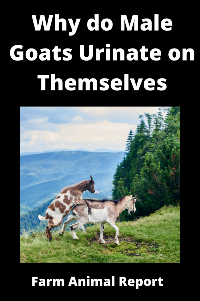 Why do Male Goats Urinate on Themselves / Romance 1