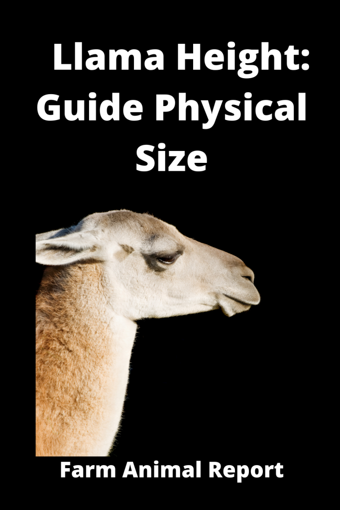 Llama Height: Guide Physical Size 2