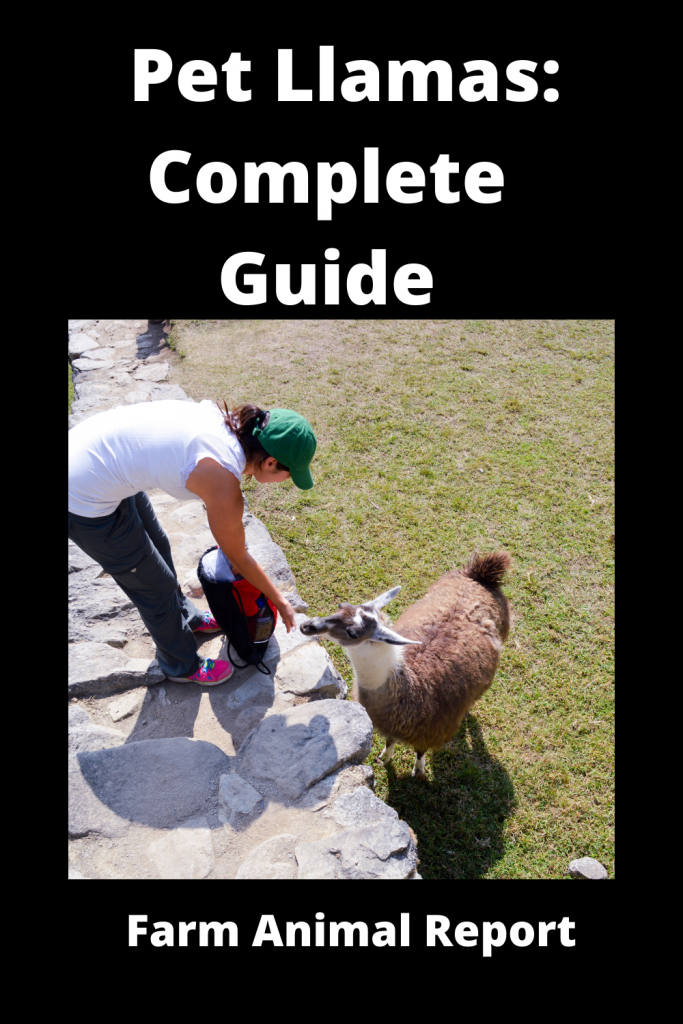 Pet Llamas: Complete Guide 3