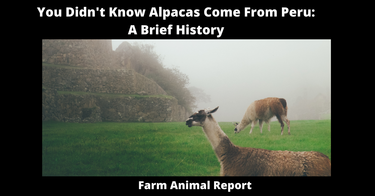 You Didn't Know Alpacas Come From Peru: A Brief History