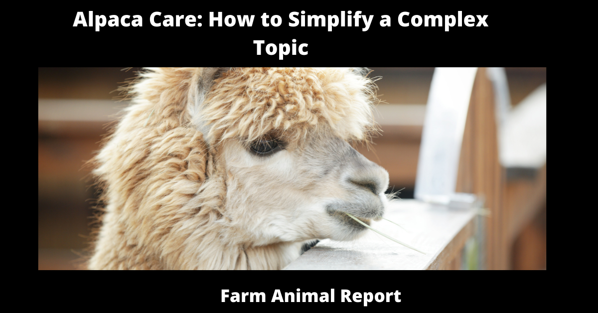 Alpaca Care: How to Simplify a Complex Topic