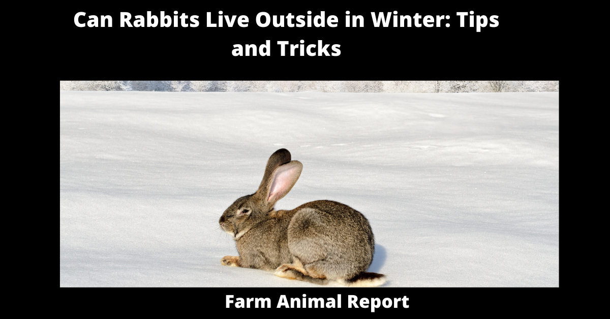 Can Rabbits Live Outside in Winter: Tips and Tricks