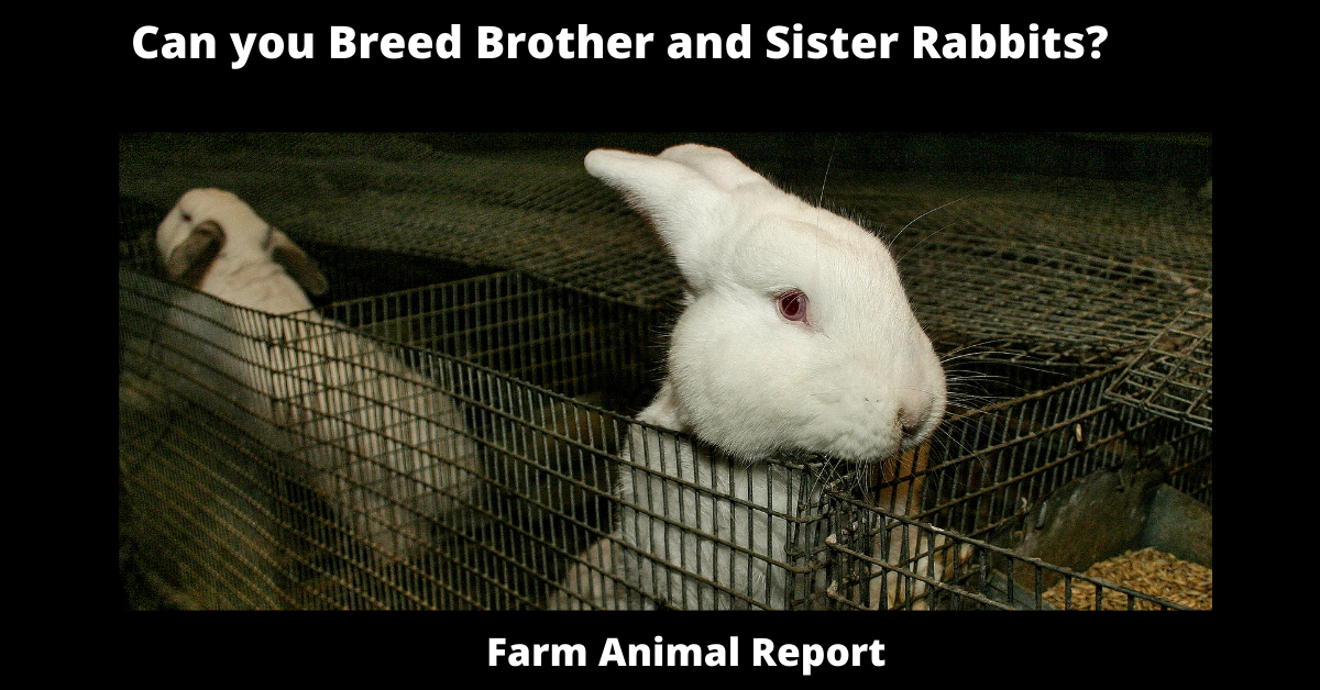 Can you Breed Brother and Sister Rabbits?